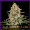 DNA Genetics Chocolope Kush Fem 6 Weed Seeds